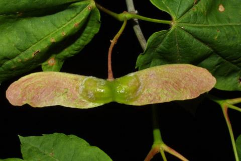 Image http://bioimages.vanderbilt.edu/lq/baskauf/wacci--fr41596.jpg