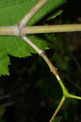 Image http://bioimages.vanderbilt.edu/lq/baskauf/wacci--tw40885.jpg