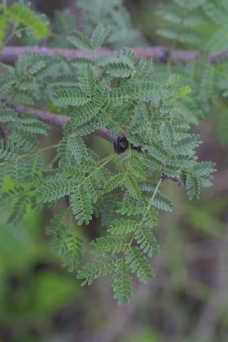 Image http://bioimages.vanderbilt.edu/lq/baskauf/wacco2-lfseveral14222.jpg