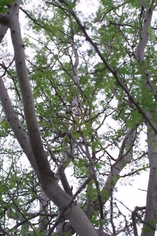 Image http://bioimages.vanderbilt.edu/lq/baskauf/wacco2-wplookup14240.jpg