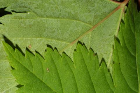 Image http://bioimages.vanderbilt.edu/lq/baskauf/wacgld4lfmargin-uplow42556.jpg