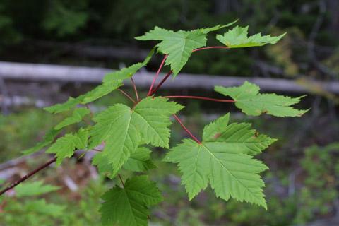 Image http://bioimages.vanderbilt.edu/lq/baskauf/wacgld4lfseveral42543.jpg