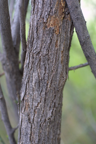 Image http://bioimages.vanderbilt.edu/lq/baskauf/wacgr--br14251.jpg