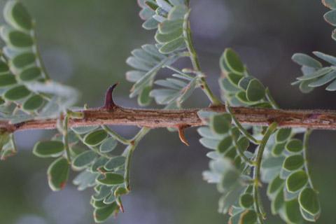 Image http://bioimages.vanderbilt.edu/lq/baskauf/wacgr--tw14242.jpg