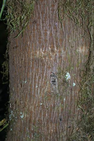 Image http://bioimages.vanderbilt.edu/lq/baskauf/wacma3-brmedium40495.jpg