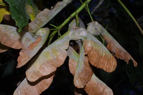 Image http://bioimages.vanderbilt.edu/lq/baskauf/wacma3-fr42845.jpg