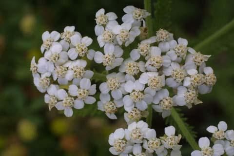 Image http://bioimages.vanderbilt.edu/lq/baskauf/wacmi2-fl24295.jpg