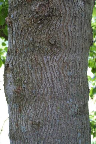 Image http://bioimages.vanderbilt.edu/gq/baskauf/gacne2-brlarge-tree13160.jpg