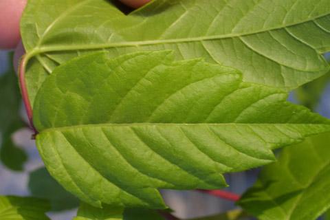 Image http://bioimages.vanderbilt.edu/lq/baskauf/wacne2-lfmargin-uplow15316.jpg