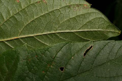 Image http://bioimages.vanderbilt.edu/lq/baskauf/wacne2-lfmargin-uplow54876.jpg