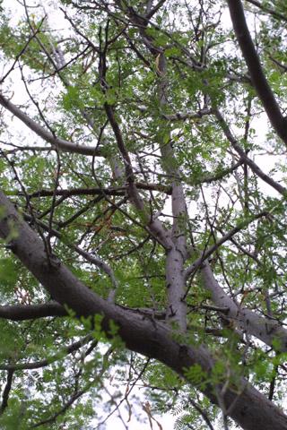 Image http://bioimages.vanderbilt.edu/lq/baskauf/wacne4-wplookup14217.jpg