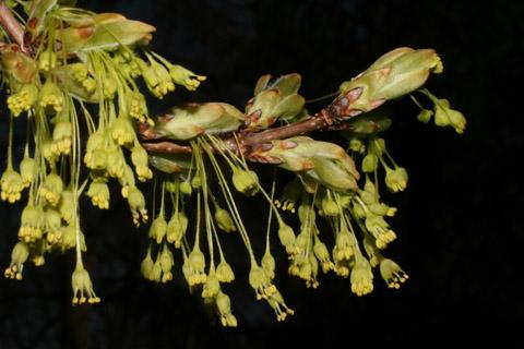 Image http://bioimages.vanderbilt.edu/lq/baskauf/wacni5-flinflor50594.jpg