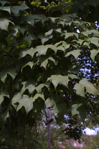 Image http://bioimages.vanderbilt.edu/lq/baskauf/wacni5-lfseveral43418.jpg