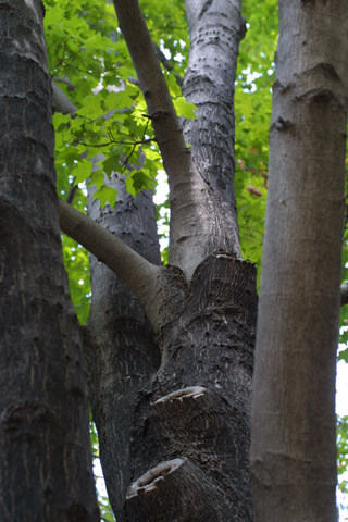 Image http://bioimages.vanderbilt.edu/lq/baskauf/wacni5-wplook-up43402.jpg