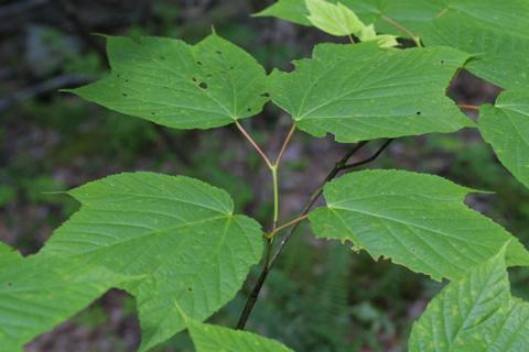 Image http://bioimages.vanderbilt.edu/lq/baskauf/wacpe--lfseveral11715.jpg