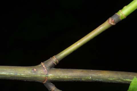 Image http://bioimages.vanderbilt.edu/lq/baskauf/wacpe--tw26272.jpg