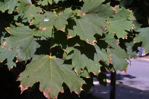 Image http://bioimages.vanderbilt.edu/lq/baskauf/wacpl--lfseveral38636.jpg