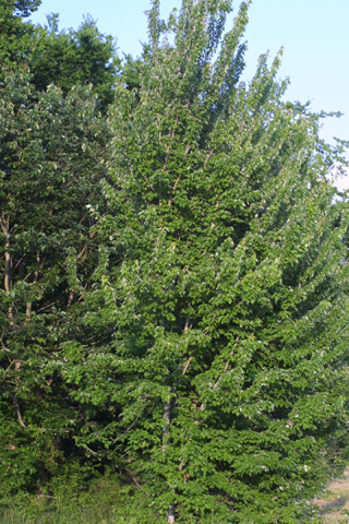Image http://bioimages.vanderbilt.edu/lq/baskauf/wacru--wpsmall11930.jpg