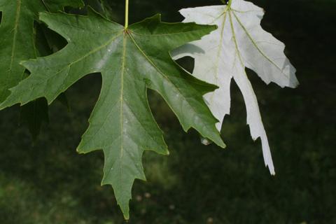Image http://bioimages.vanderbilt.edu/lq/baskauf/wacsa2-lf12255.jpg