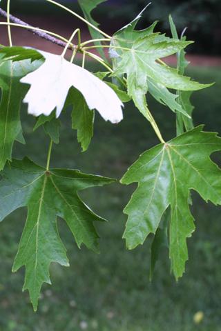 Image http://bioimages.vanderbilt.edu/lq/baskauf/wacsa2-lfseveral12254.jpg