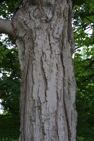 Image http://bioimages.vanderbilt.edu/lq/baskauf/wacsa3-br10861.jpg