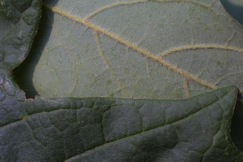 Image http://bioimages.vanderbilt.edu/lq/baskauf/wacsa3-lfmargin-uplow15211.jpg