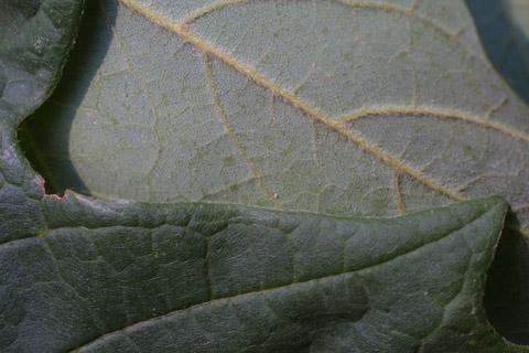 Image http://bioimages.vanderbilt.edu/lq/baskauf/wacsa3-lfmargin-uplow15212.jpg