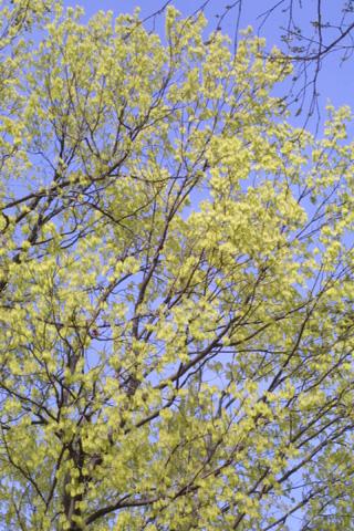 Image http://bioimages.vanderbilt.edu/lq/baskauf/wacsa3-wpin-flower18076.jpg