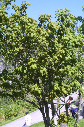 Image http://bioimages.vanderbilt.edu/lq/baskauf/wacsp2-wp15046.jpg