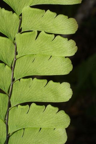 Image http://bioimages.vanderbilt.edu/lq/baskauf/wadpe--lfclose33431.jpg