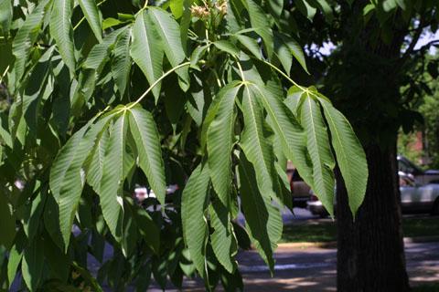 Image http://bioimages.vanderbilt.edu/lq/baskauf/waefl--lfseveral10764.jpg