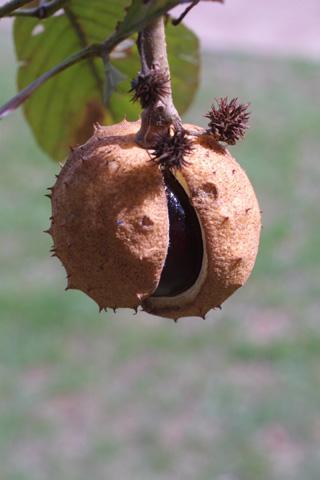 Image http://bioimages.vanderbilt.edu/lq/baskauf/waegl--fr15920.jpg