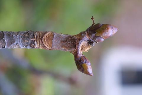Image http://bioimages.vanderbilt.edu/lq/baskauf/waehi--twbud-lfscar15966.jpg