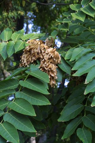 Image http://bioimages.vanderbilt.edu/lq/baskauf/waial--fr15184.jpg