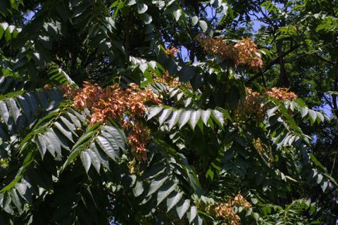 Image http://bioimages.vanderbilt.edu/lq/baskauf/waial--frin-fruit13165.jpg
