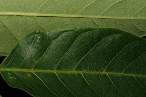 Image http://bioimages.vanderbilt.edu/lq/baskauf/waial--lfmargin-uplow52519.jpg