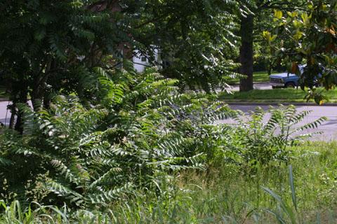 Image http://bioimages.vanderbilt.edu/lq/baskauf/waial--wpweed-in-town10998.jpg