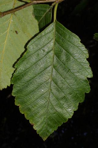 Image http://bioimages.vanderbilt.edu/lq/baskauf/walru2-lf41050.jpg