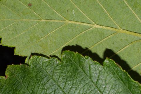 Image http://bioimages.vanderbilt.edu/lq/baskauf/walru2-lfmargin-uplow41052.jpg