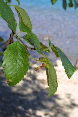 Image http://bioimages.vanderbilt.edu/lq/baskauf/walru2-lfseveral41060.jpg