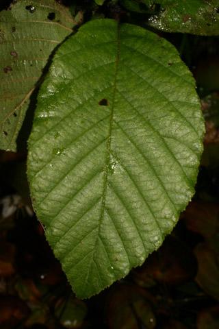 Image http://bioimages.vanderbilt.edu/lq/baskauf/walse2-lf55948.jpg