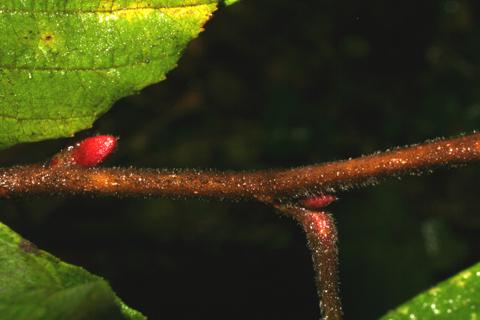 Image http://bioimages.vanderbilt.edu/lq/baskauf/walse2-tw55963.jpg