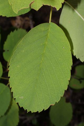 Image http://bioimages.vanderbilt.edu/lq/baskauf/wamal2-lf42616.jpg