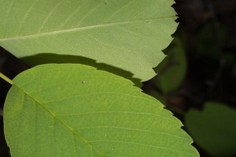 Image http://bioimages.vanderbilt.edu/lq/baskauf/wamal2-lfmargin-uplow42618.jpg