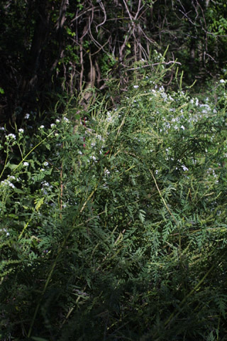 Image http://bioimages.vanderbilt.edu/lq/baskauf/wamar2-wp29588.jpg