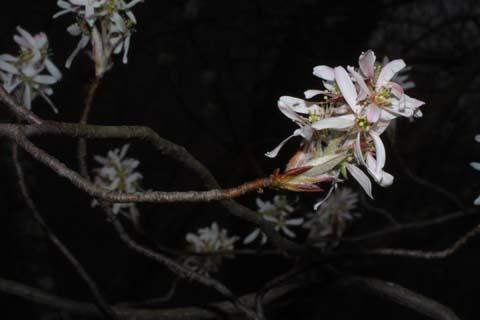 Image http://bioimages.vanderbilt.edu/lq/baskauf/wamar3-flinflor31412.jpg