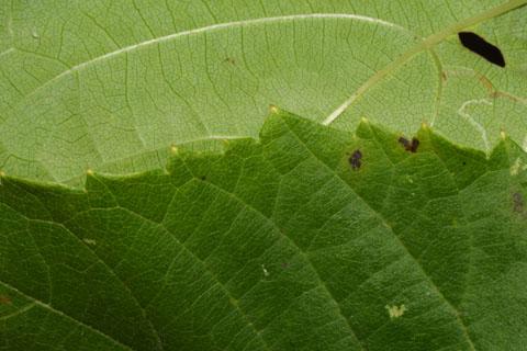 Image http://bioimages.vanderbilt.edu/lq/baskauf/wamco2-lfmargin-uplow38534.jpg