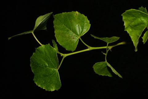 Image http://bioimages.vanderbilt.edu/lq/baskauf/wamco2-lfseveral38535.jpg