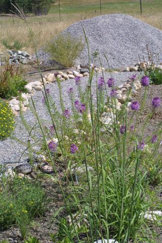 Image http://bioimages.vanderbilt.edu/lq/baskauf/wange--wp43097.jpg
