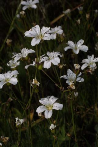 Image http://bioimages.vanderbilt.edu/lq/baskauf/warca7-flinflor41369.jpg